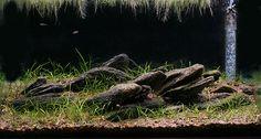 Livebearer Biotope