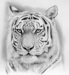 Tiger by akalinz pencil drawing