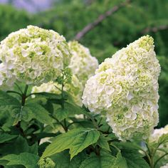 Hydrangea Plants and Bushes - Bring the landscape to life with hydrangea plants that infuse elegance into any summer garden. Find quality hydrangea plants with everlasting colorful blooms at Burpee today. Oakleaf Hydrangea Landscape, Hydrangea Landscaping, Landscaping Plants, Garden Plants, Hydrangea Plant, Hydrangea Seeds, Backyard Plants, Shade Garden, Garden Catalogs