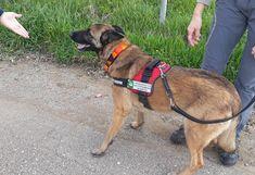 Ο ειδικά εκπαιδευμένος σκύλος Κίκο και η χειρίστριά του και συνεργάτιδα του WWF Ελα Κρετ βρέθηκαν στα Δίκελλα, μαζί με εθελοντές φιλόζωους, αστυνομικούς και τον αντιδήμαρχο Χρήστο Ζιώγα. Οι φιλόζωοι ζήτησαν τη βοήθεια του τετράποδου ανιχνευτή που έχει καταφέρει σε πολύ δύσκολες καταστάσεις να εντοπίσει δηλητηριασμένα δολώματα και νεκρά ζώα. https://alexpoli.gr/kai-o-kiko-ston-agona-kata-tis-epidimias-folas-sta-dikella/