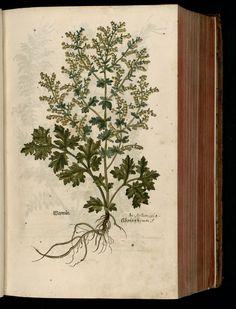 Wermut absinthium, artemisia, wormwood (1543) by Leonhart Fuchs.