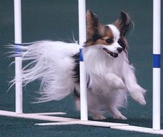 papillon weaves (agility)---look at that gorgeous fur flying in the wind, not to mention look of concentration on his face.