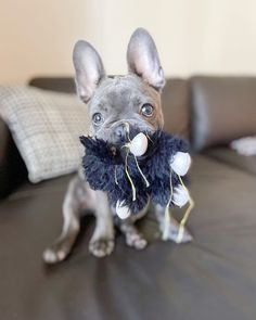Cute French Bulldog, French Bulldog Puppies, Willy Wonka, Cute Photos, Dog Pictures, Cute Dogs, Give It To Me, My Favorite Things, Animals