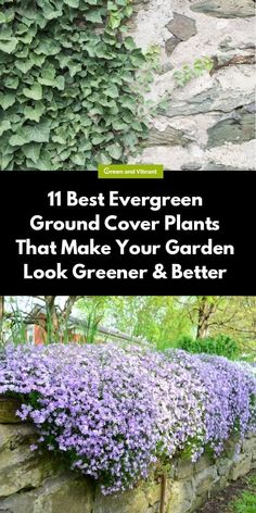 11 Best Evergreen Ground Cover Plants That Make Your Garden Look Greener & Better | Green and Vibrant Ground Cover Plants Shade, Evergreen Ground Cover Plants, Best Ground Cover Plants, Shade Garden Plants, Garden Shrubs, Ground Covering Plants, Evergreen Garden, Full Sun Ground Cover, Low Growing Ground Cover