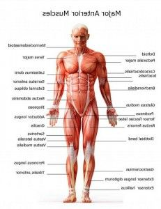 muscle map human body