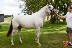 Knabstrupper (Sport type) stallion Toftegaardens Codex