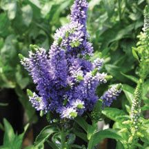 Blue Bomb Veronica  *Color all summer  *Clump-forming  *Low-maintenance