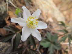 Anemone nemorosa in April.