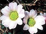 Everybody knows the Edelweiss, which grows high in the Alps and is regarded in Switzerland as a national symbol.