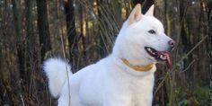 Hokkaido Dog - Information, Characteristics, Facts, Names Hokkaido Dog, Dog Information, Dog Training Classes, Dog List, Purebred Dogs, Dog Hacks, Old Dogs, Shiba Inu, Akita