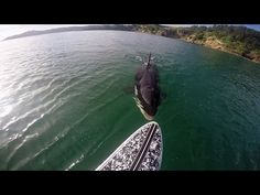KILLER WHALE NIBBLES SUP - SurfGirl Magazine - Womens and Girls Surfing, Surf Fashion, Surf News, Surf Videos