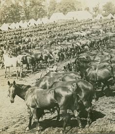 "WWI, Part of a stereoscopic image, caption reading;"" English Cavalry horses ready for the front."" - Getty/Hulton"