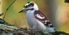 Downy Woodpecker at Sarobia.