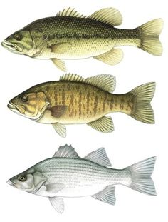 Google Image Result for http://bentleyfishing.com/images/largemouth-bass-smallmouth-bass-white-bass.jpg