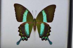 Beautiful Swallowtail Butterfly Papilio blumei. by VSSoutlet