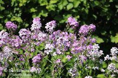 Scent garden - Illakko