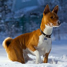 """Basenji This is a unique breed, also known as the """"African barkless dog"""" because instead of barking, it makes yodeling noises. Between that and their cat-like tendency to clean themselves, the Basenji doesn't score high on your classic dog trait test."""