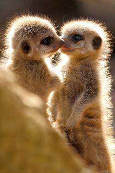 Meerkat babies (by Alan Hinchliffe)