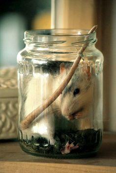 rats <3 jars full of noms.