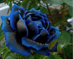 Midnight Supreme Rose Bush Flower Seeds 200 Seeds door Greenworld1
