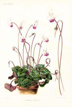 1895 Cyclamen Planche botanique originale, gravure ancienne Revue Horticole, 120 ans d'âge.