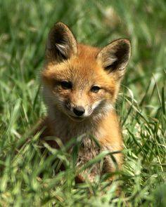 Red Fox Cub by Wildlife Photography Animal Photography, Wildlife Photography, Fuchs Baby, Fox Pups, Dog Anatomy, Dog Tumblr, Wild Animals Photos, Most Beautiful Animals, Cute Fox