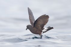3943. Wilson's Storm-Petrel (Oceanites oceanicus)   breeds on the Antarctic coastlines and nearby islands such as the South Shetland Islands during the summer of the southern hemisphere