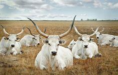 Hungarian breed Hungary, Austria, Goats, Cow, Nature, Flowers, Animals, Beautiful, Grey Goose