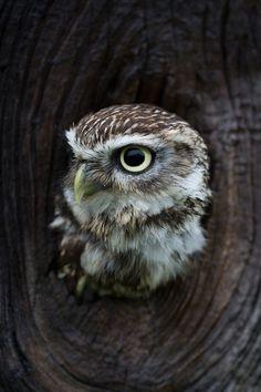 l0stship:  baby owl (by Thor Hakonsen)