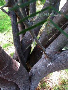 un árbol rescatado, de tanto podarlo para que no molestara los cultivos de vides, renació con muchas ramas...un algarrobo.