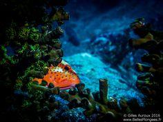 Plongée en Thailande : Mérou minium (Cephalopholis miniata) a Christmas Point (iles similan)