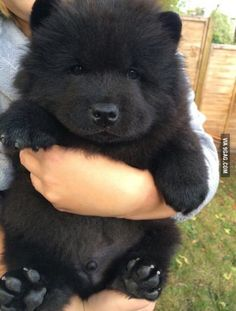 Who likes to own a teddy bear like this one ( it's a black chow chow dog )