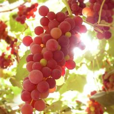 What to Prune When Prune all grapes close to the lateral arms each year during the dormant season to produce the best fruit. The degree of pruning depends on the vigor of the variety. Prune vigorous varieties more heavily than weak growers.