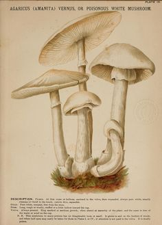 Agaricus (Amanita) vernus or poisonous white mushroomby BioDivLibrary on Flickr. Mushrooms of America,.Boston,L. Prang & Co.[1885].biodiversitylibrary.org/page/1274925