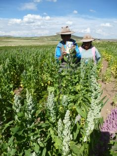 #fairtrade #peru #quinoa #organic www.quinola.com