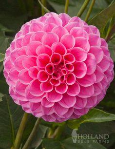 Order Dahlias: Pink Pompon Dahlia Jan van Schaeffelaar