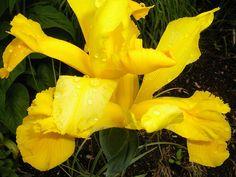 Yellow Iris with Raindrops iris flower yellow Raindrops Iris