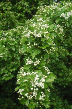 Głóg to rozrośnięty krzew lub niezbyt wielkie drzewo, występujące na brzegach lasów, przy łąkach i miedzach.