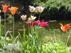 Tulips by the pond long lasting spring display Spring Flowering Bulbs, Spring Bulbs, Growing Tulips, Pond, Display, Garden, Plants, Color, Floor Space