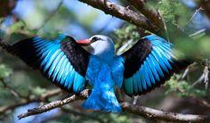 Woodland Kingfisher, Halcyon senegalensis at  Marakele National Park, South Africa | by Derek Keats. Flickr