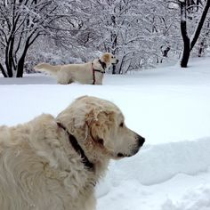 English Cream Golden Retrievers with Nemo in Central Park. 1 of 2.
