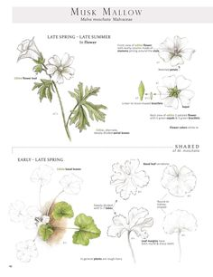Musk Mallow. These are pages from the book Foraging & Feasting: A Field Guide and Wild Food Cookbook by Dina Falconi and illustrated by Wendy Hollender. Published by Botanical Arts Press. Learn more about the book and how to purchase at www.botanicalartspress.com.