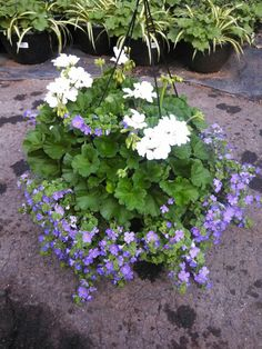 Geranium and blue bacopa