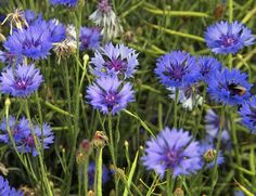 Cornflowers (Centaurea cyanus), New Holland, North Lincolnshire - Centaurea cyanus - Wikimedia Commons