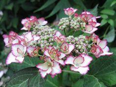 Hydrangea macrophylla 'Love You Kiss'