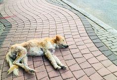 Envenenan a miles de perros callejeros en Pakistán
