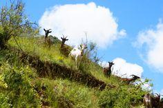 La culture cévenole se traduit par une expérience ancestrale de l'agropastoralisme Goats, Culture, Animals, Tourism, Animales, Animaux, Animal, Animais, Dieren