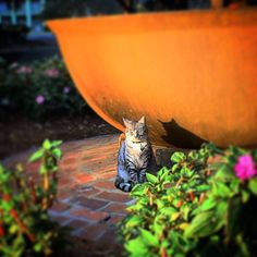 Plantation kitty! #oakalley #catsofinstagram #kitty #letmesnugyouforever