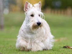 Scottish Terrier - a beautiful wheaten