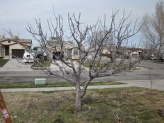 Fruit Tree Pruning at Its Best: Out With the New in With the Old!